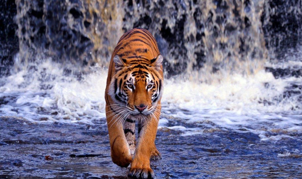 Τίγρεις και τιγράκια παίζουν και κολυμπούν σε μια πισίνα - Δείτε το εκπληκτικό βίντεο - Κυρίως Φωτογραφία - Gallery - Video