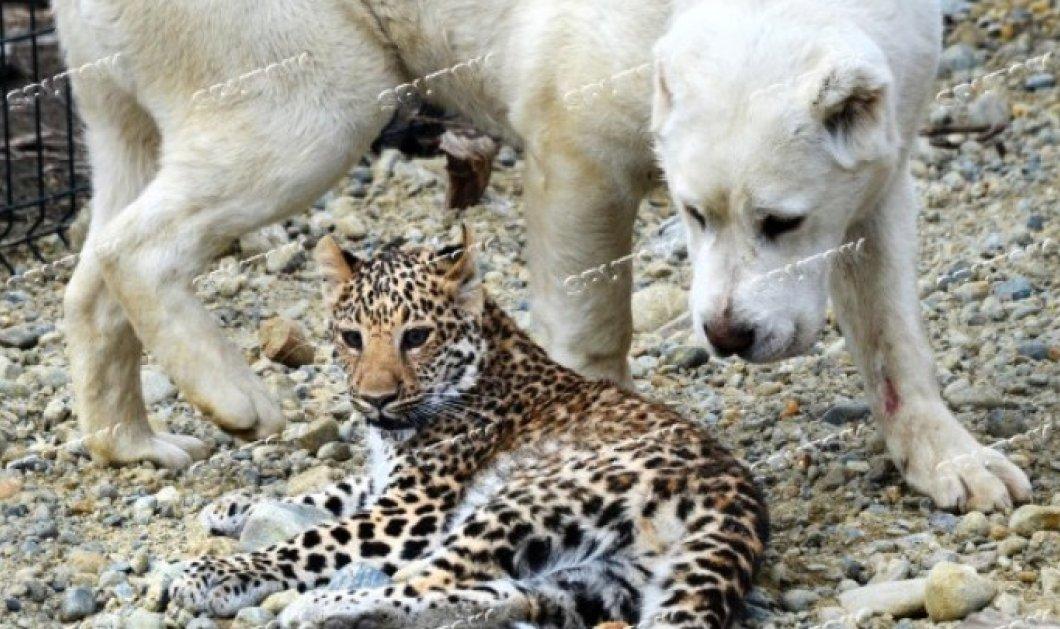 Σκυλίτσα «υιοθετεί» νεογέννητη λεοπάρδαλη (Βίντεο) - Κυρίως Φωτογραφία - Gallery - Video