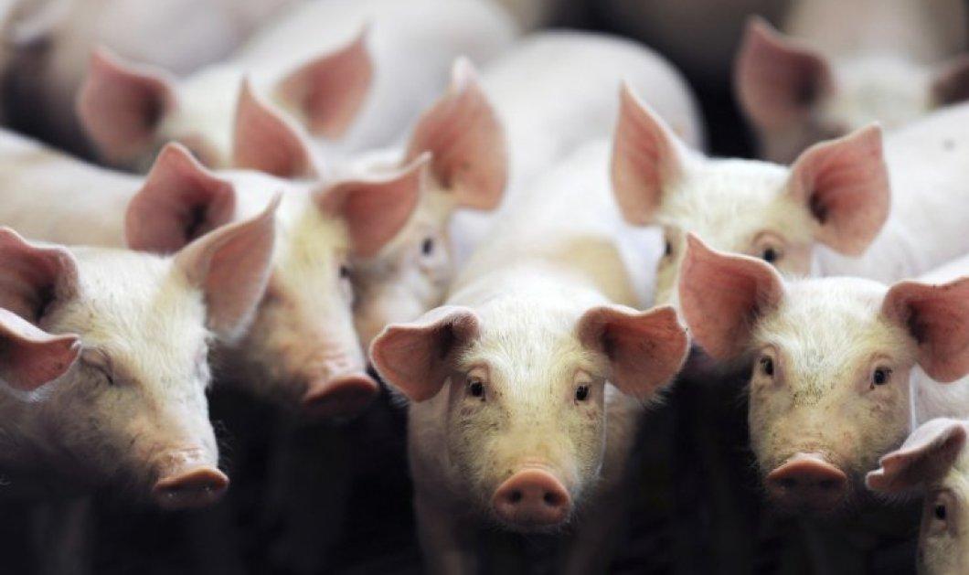 Η Ισπανία έχει 50 εκατ. χοίρους και 46,5 εκατ. κατοίκους - Πόσο κακό όμως είναι αυτό; - Κυρίως Φωτογραφία - Gallery - Video