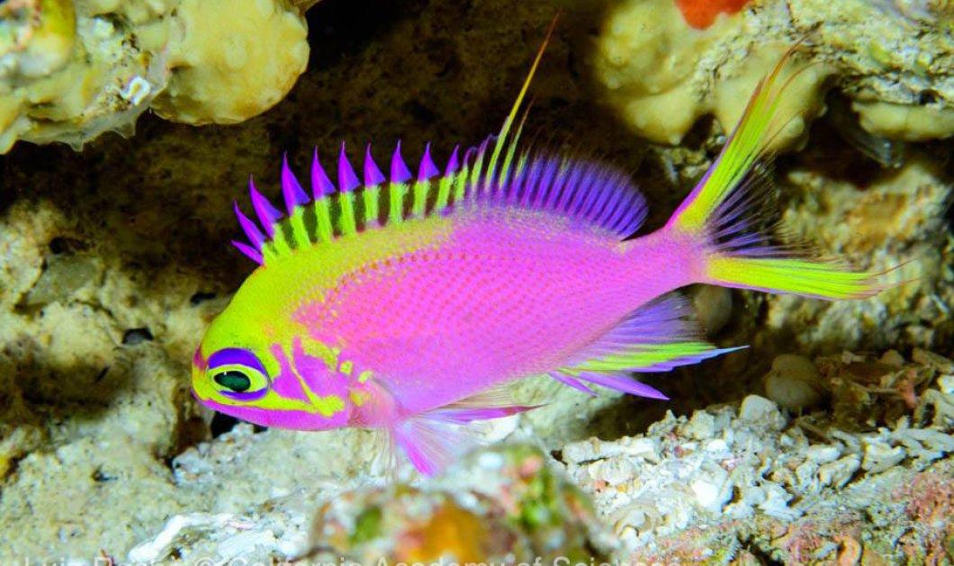 Επιστήμονες ανακάλυψαν νέο πολύχρωμο ψάρι και το ονόμασαν «Αφροδίτη» (ΦΩΤΟ - ΒΙΝΤΕΟ)   - Κυρίως Φωτογραφία - Gallery - Video