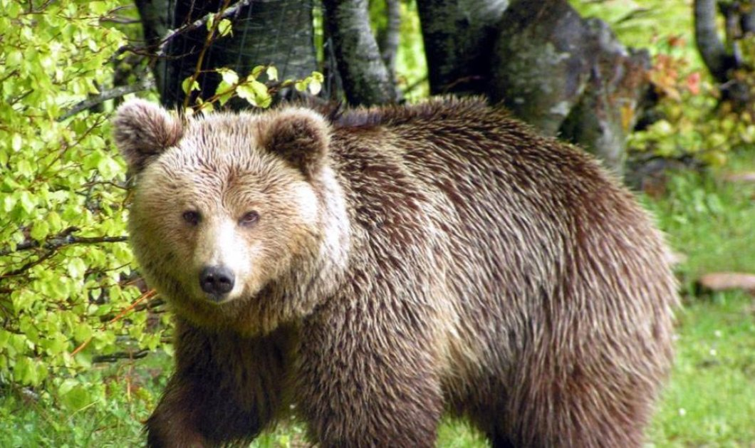 Καστοριά: Η μεγαλύτερη αρκούδα που είχε καταγράψει ο «Αρκτούρος» έχασε τη ζωή της - Είχε βάρος 390 κιλών (Φωτό) - Κυρίως Φωτογραφία - Gallery - Video
