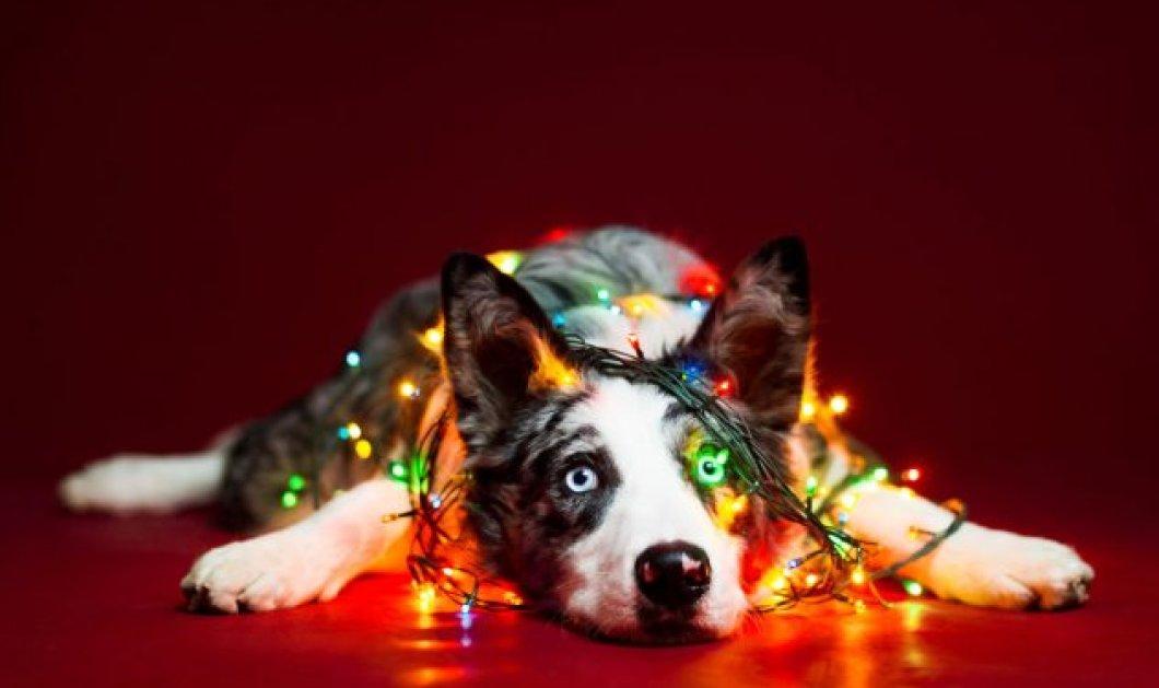Χρόνια Πολλά: Ντύσαμε τα σκυλάκια Χριστουγεννιάτικα για να σας ευχηθούν! Φώτο - Κυρίως Φωτογραφία - Gallery - Video
