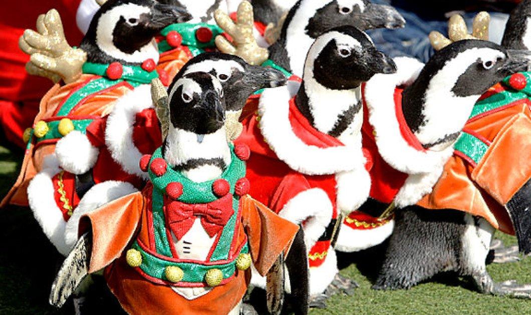 Η πιο ωραία χριστουγεννιάτικη εικόνα: Αληθινά πιγκουινάκια ντύθηκαν Αη Βασίληδες (φωτό) - Κυρίως Φωτογραφία - Gallery - Video