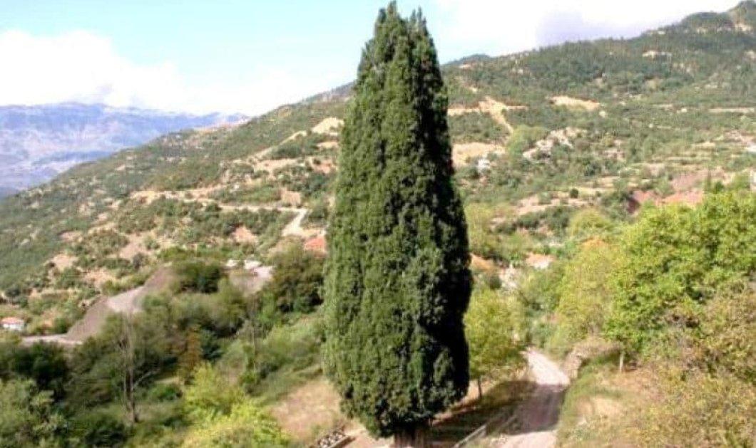 Το αγέρωχο κυπαρίσσι του Πατροκοσμά στην Πρασιά Αγράφων & η ιστορικότητά του - Βίντεο  - Κυρίως Φωτογραφία - Gallery - Video
