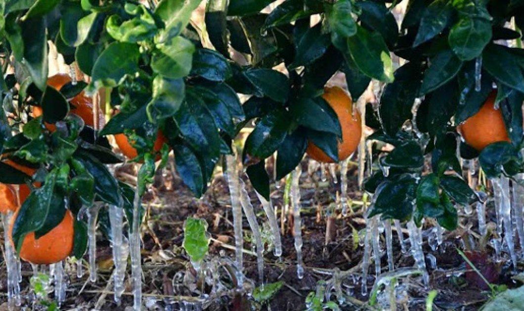 Άργος: Πάγωσαν μέχρι και τα πορτοκάλια - Στους -4°C η θερμοκρασία (Φωτό) - Κυρίως Φωτογραφία - Gallery - Video