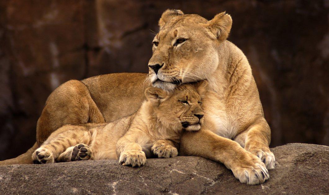 Η φωτογραφία της ημέρας: Λιοντάρι φαίνεται να καταπίνει το μωρό του -  Ψευδαίσθηση ή αλήθεια; - Κυρίως Φωτογραφία - Gallery - Video