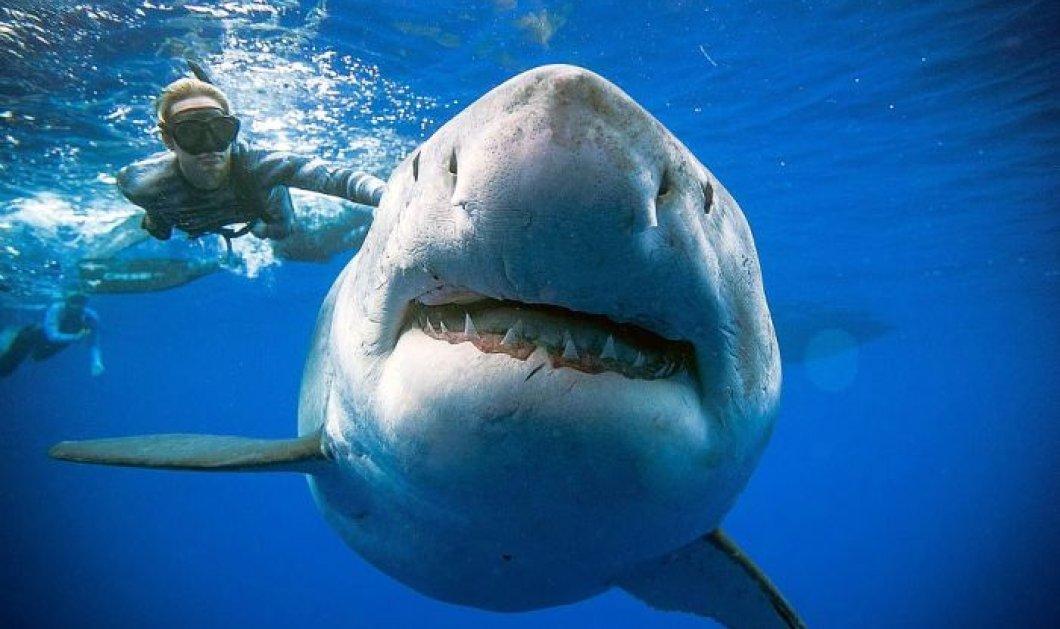 Καθηλωτικά πλάνα τράβηξαν δύτες από τον μεγαλύτερο λευκό καρχαρία! 50 ετών φαρδύς & παχύς μάλλον έγκυος  - Κυρίως Φωτογραφία - Gallery - Video