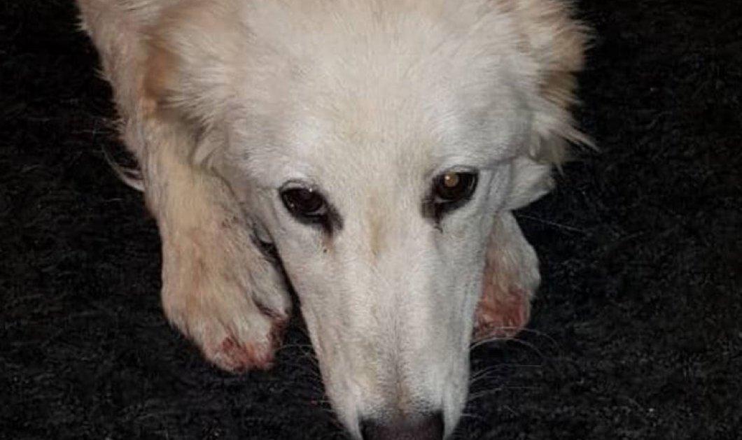 Χανιά: Σοκάρουν οι καμένες πατούσες του θλιμμένου σκύλου  - Πρώην αξιωματικός της ΕΛ.ΑΣ τον έσερνε σκύλο με το αγροτικό του - Κυρίως Φωτογραφία - Gallery - Video