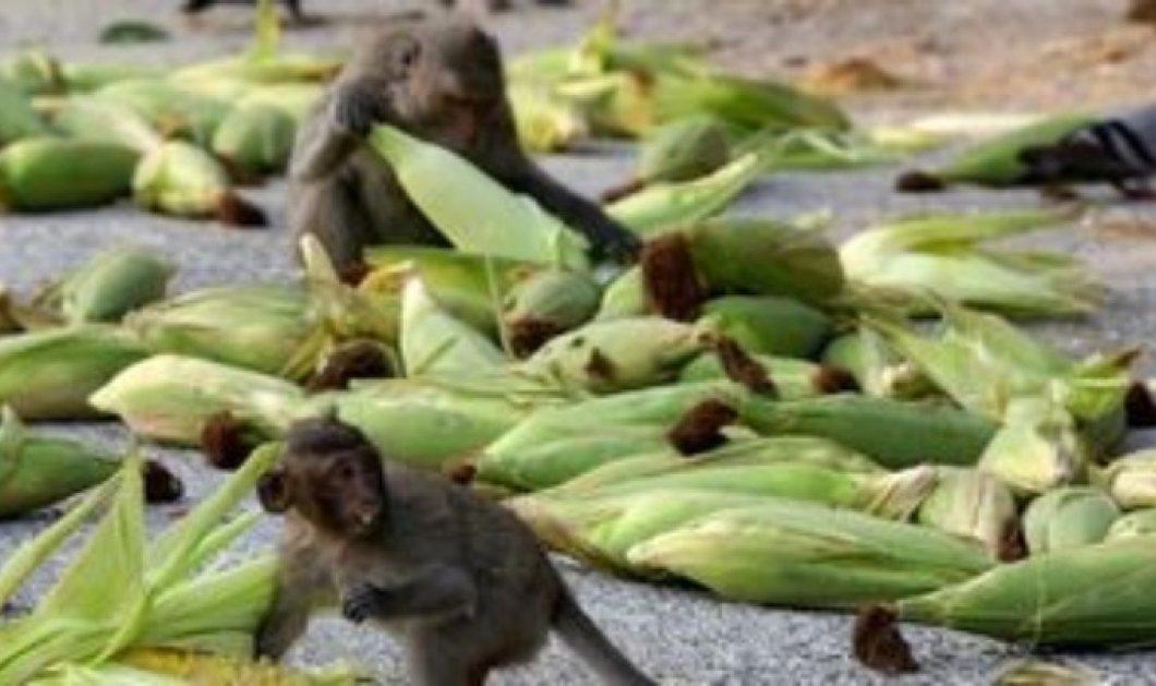 Κινέζοι επιστήμονες κλωνοποίησαν γενετικά τροποποιημένες μαϊμούδες - Κυρίως Φωτογραφία - Gallery - Video