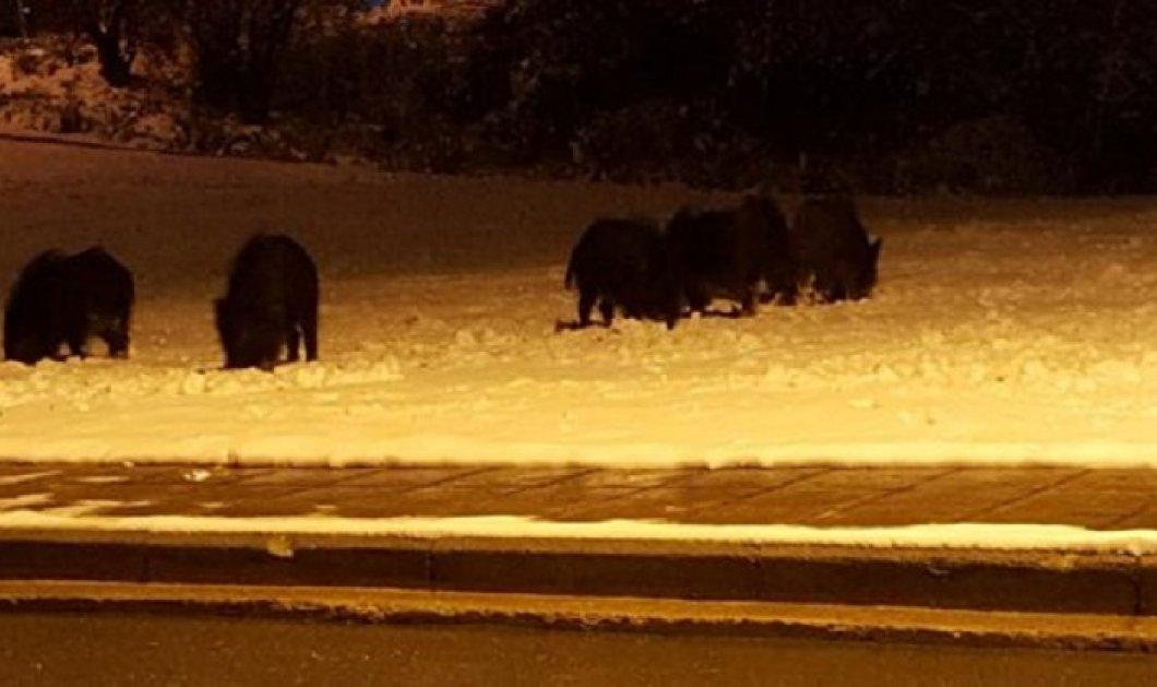 Ένα κοπάδι αγριογούρουνα έκανε νυχτερινή ....βόλτα στη χιονισμένη Θεσσαλονίκη (φώτο-βίντεο) - Κυρίως Φωτογραφία - Gallery - Video