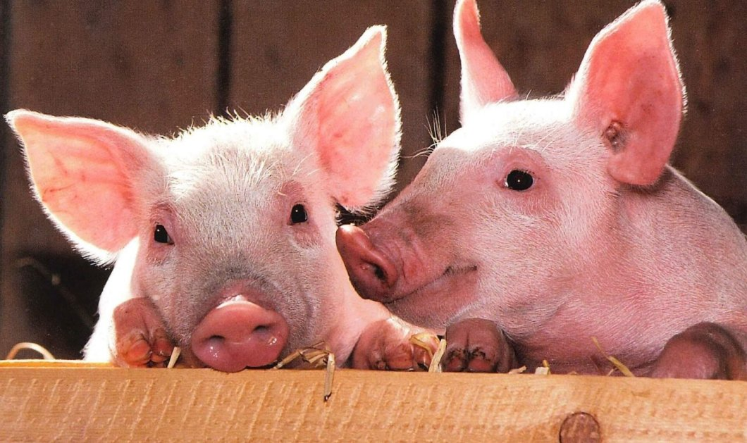 Ένας θάνατος για ταινία τρόμου: 56χρονη λιποθύμησε ταΐζοντας τα γουρούνια και την κατασπάραξαν - Κυρίως Φωτογραφία - Gallery - Video
