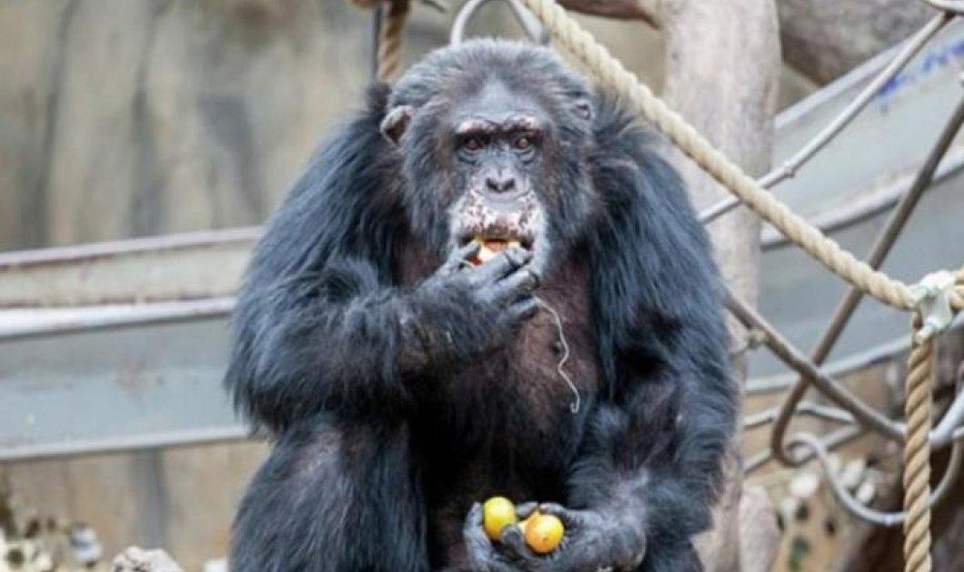 Σοκαριστικό: Επισκέπτες ζωολογικού κήπου έδωσαν νερό με ναρκωτικές ουσίες σε χιμπατζή - Κυρίως Φωτογραφία - Gallery - Video