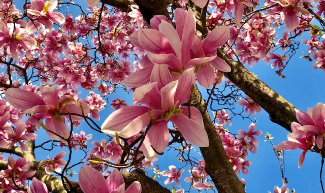 Η συναρπαστική Άνοιξη στην Ελβετία με μανόλιες, άνθη κερασιάς & καμέλιες - Λουλούδια ευτυχίας στο eirinika με φωτογράφο την Κατερίνα Τσεμπερλίδου - Κυρίως Φωτογραφία - Gallery - Video