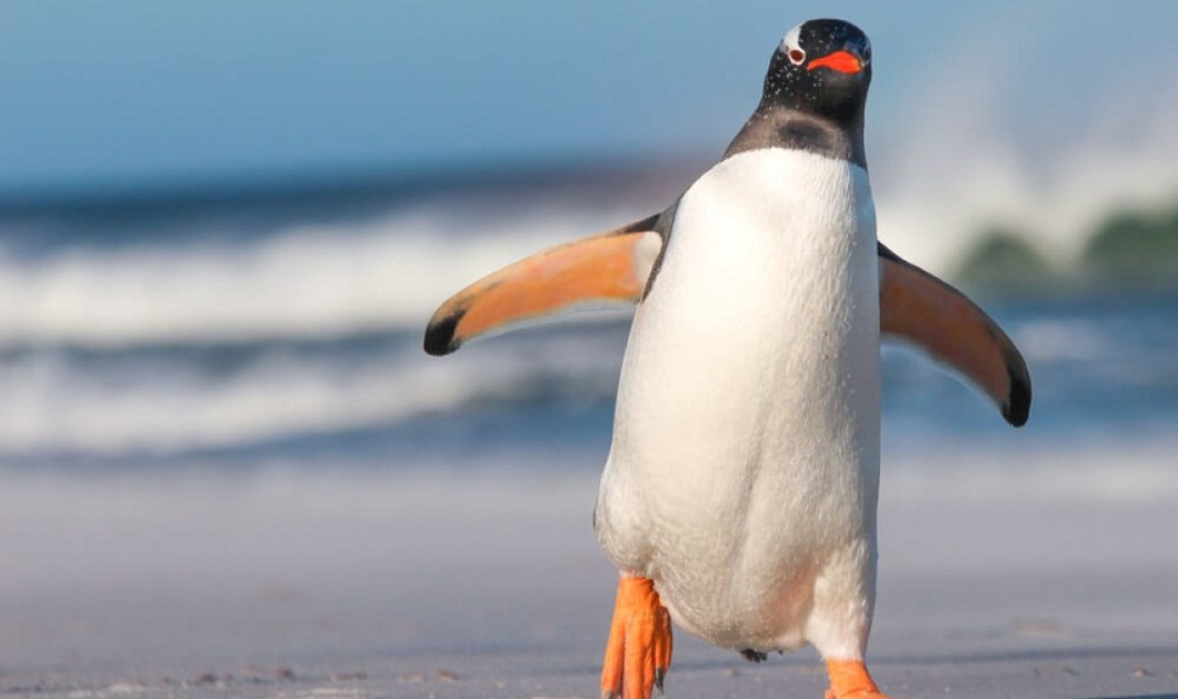 Βίντεο: Εδώ ο Αυτοκράτορας μαύρος πιγκουίνος - Σπάνιος και πανέμορφος  - Κυρίως Φωτογραφία - Gallery - Video