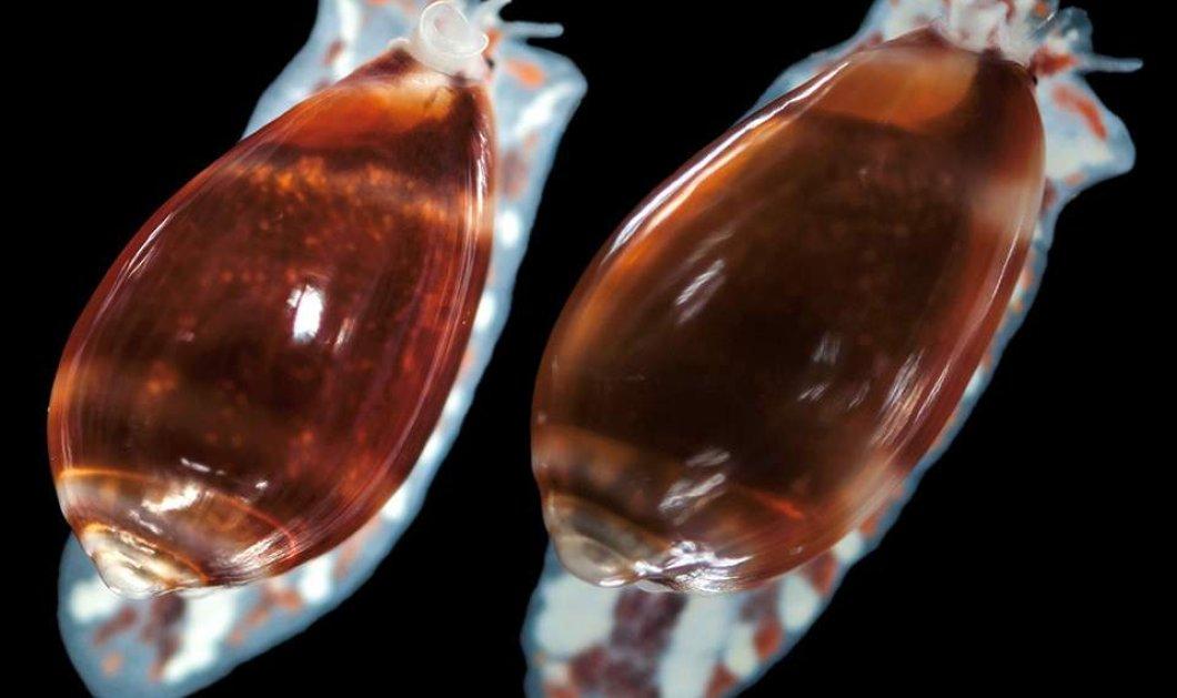 Ανακαλύφθηκε νέο σαλιγκάρι της θάλασσας - Πολύ περίεργο όνομα του! (φώτο) - Κυρίως Φωτογραφία - Gallery - Video