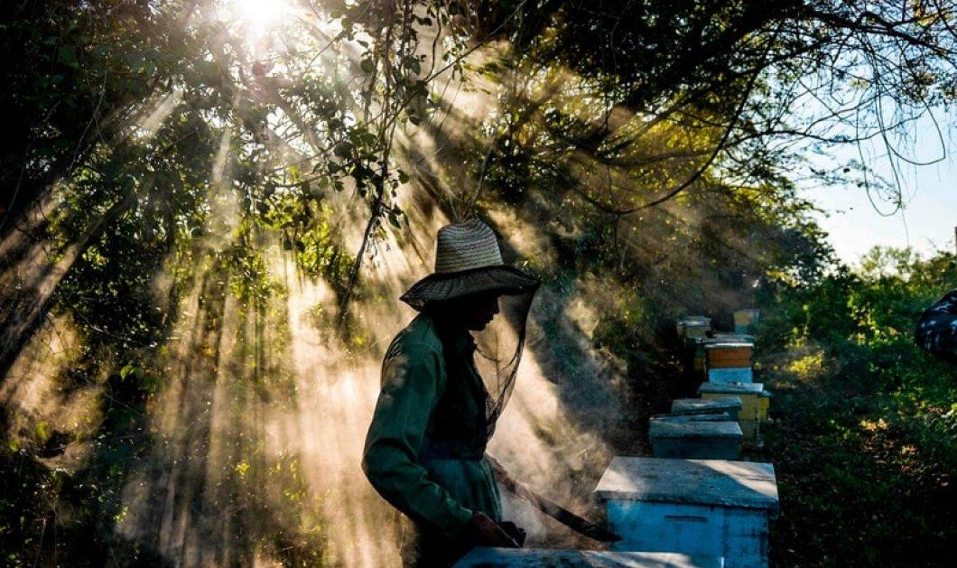 Ένας παραδοσιακός μελισσοκόμος επί τω έργω σε οροπέδιο της Κούβας (φωτό) - Κυρίως Φωτογραφία - Gallery - Video