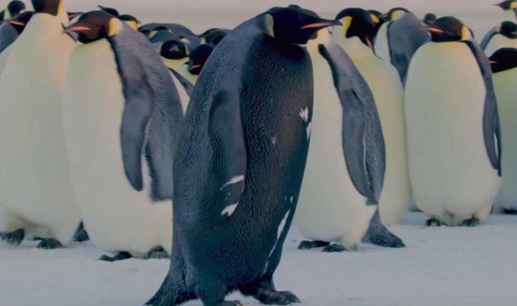 «Αποκαλυπτήρια» του BBC σε ένα από τα πιο σπάνια είδη ζώων: Γνωρίστε τον μαύρο αυτοκρατορικό πιγκουίνο (βίντεο) - Κυρίως Φωτογραφία - Gallery - Video