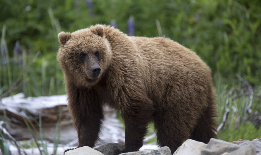 Σοκαριστικό βίντεο: Αρκούδα επιτέθηκε σε γυναίκα την ώρα που πήγε να την ταΐσει - Κυρίως Φωτογραφία - Gallery - Video