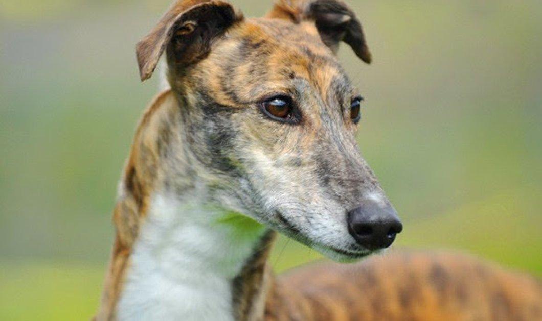 Γκρεϊχάουντ: Είναι η γρηγορότερη ράτσα σκύλου στον κόσμο! - Κυρίως Φωτογραφία - Gallery - Video