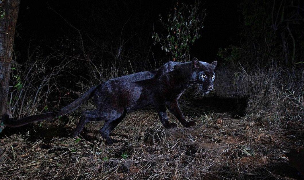 Σπάνιο βίντεο: Μαύρη λεοπάρδαλη στις πεδιάδες της Κένυας - Γεννιέται μία κάθε 100 χρόνια χάρη σε γενετική παραλλαγή - Κυρίως Φωτογραφία - Gallery - Video