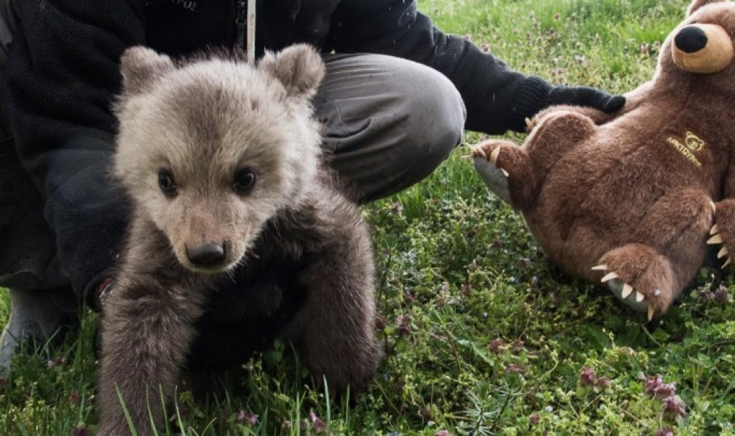 Good news: Ας γνωρίσουμε τον Μπράντλεϊ και τον Κούπερ, τα δύο ορφανά αρκουδάκια που μόλις διασώθηκαν - Κυρίως Φωτογραφία - Gallery - Video