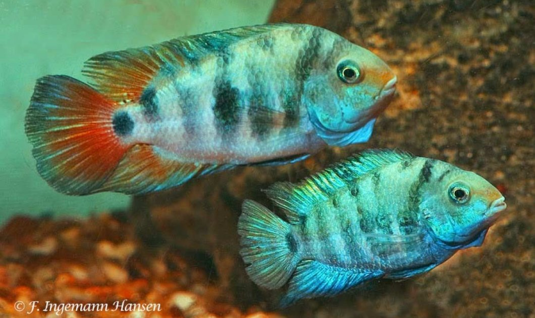 Amatitlania siquia: Τα μικρά ψάρια με τη μεγάλη καρδιά - Τα πονάει ο ερωτικός χωρισμός (βίντεο) - Κυρίως Φωτογραφία - Gallery - Video
