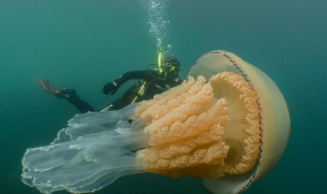 Βίντεο: Δύτες εντόπισαν μέδουσα- μαμούθ στη θάλασσα της Κορνουάλης - Κυρίως Φωτογραφία - Gallery - Video