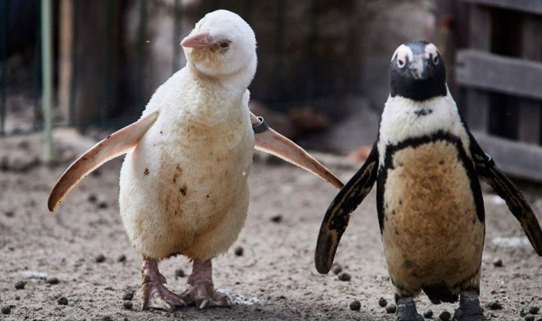 Δύο κλέφτες πιγκουίνοι διέρρηξαν εστιατόριο sushi – Eίναι γνωστοί ως πιγκουίνοι νεράιδες (φωτό) - Κυρίως Φωτογραφία - Gallery - Video