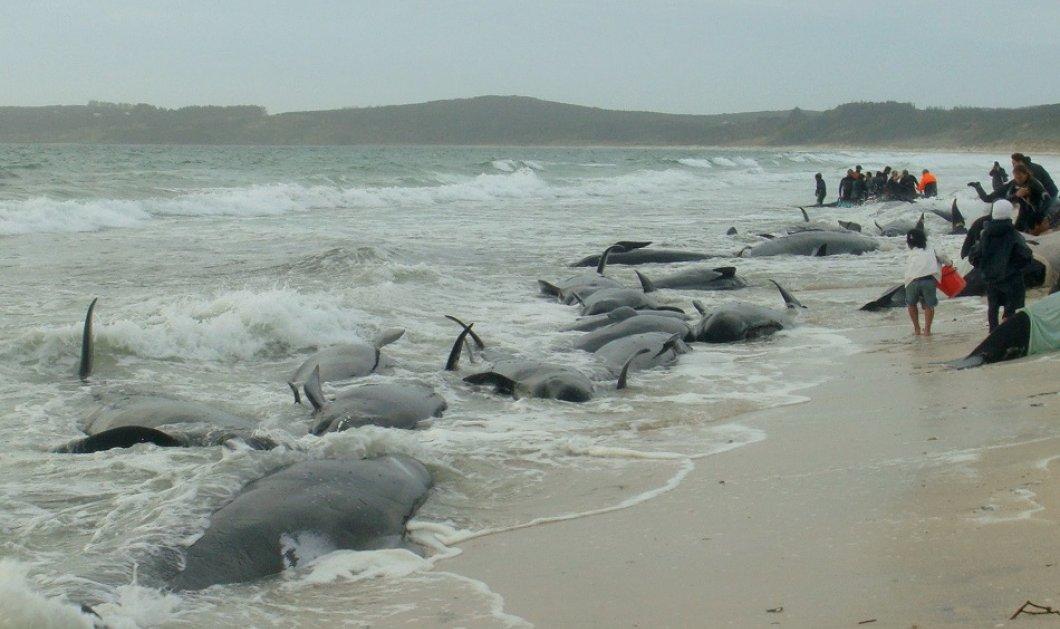 Μυστήριο & θλίψη στην Ισλανδία: 50 φάλαινες - πιλότοι ξεβράστηκαν στις ακτές  - Κυρίως Φωτογραφία - Gallery - Video