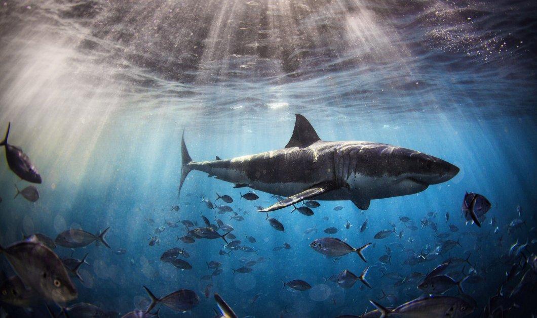 Ο τρόμος επέστρεψε στην Μασαχουσέτη - Περισσότεροι από 300 λευκοί καρχαρίες στις παραλίες (φωτό) - Κυρίως Φωτογραφία - Gallery - Video