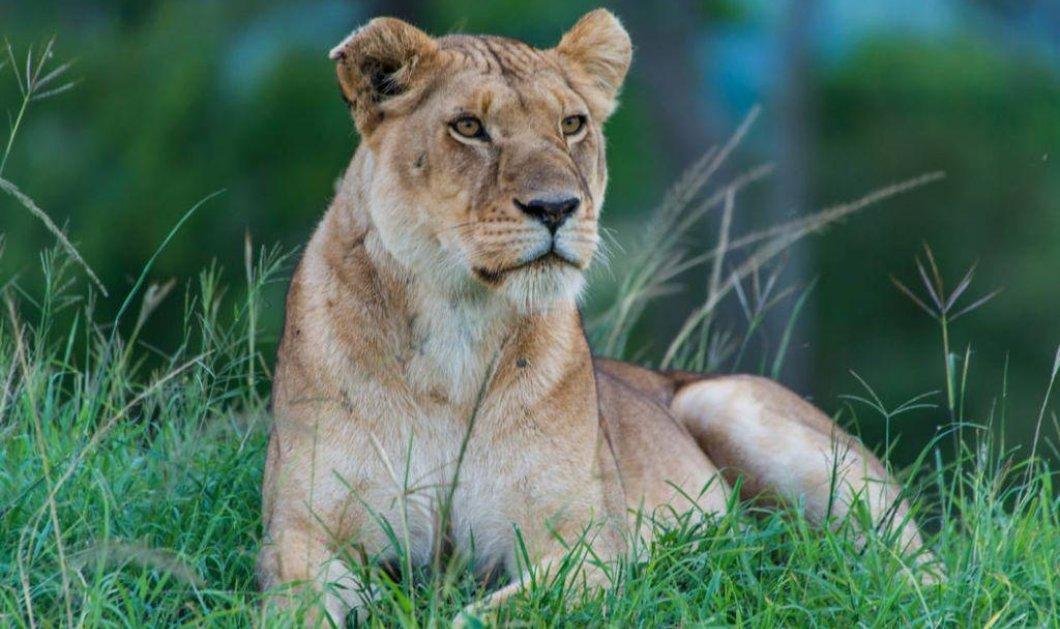 Λέαινα σκότωσε και καταβρόχθισε τα 2 νεογέννητα λιονταράκια της – Μετά βρήκε τον πατέρα των παιδιών της (φωτό) - Κυρίως Φωτογραφία - Gallery - Video