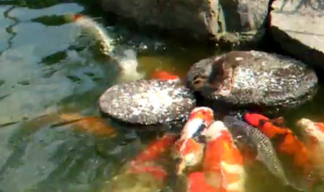 Το βίντεο της ημέρας: Παπάκι ταΐζει τα ψάρια της λίμνης! - Κυρίως Φωτογραφία - Gallery - Video