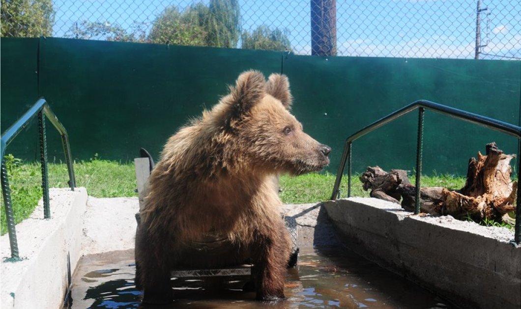Πέθανε ο Ούσκο - Το πρώτο αρκουδάκι σε αναπηρικό καροτσάκι - Γνώρισε από νωρίς το σκληρό πρόσωπο των ανθρώπων - Κυρίως Φωτογραφία - Gallery - Video