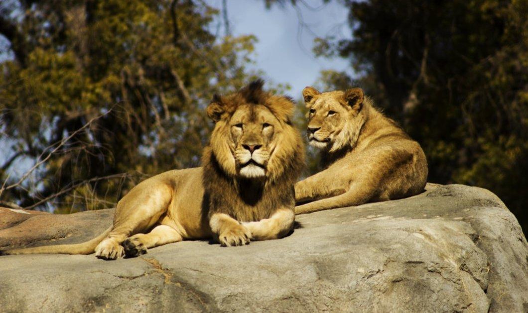 Πανικός στον ζωολογικό κήπο της Αυστραλίας όταν 2 λιοντάρια επιτέθηκαν στην 35χρονη φροντίστριά τους & την άφησαν αναίσθητη (βίντεο) - Κυρίως Φωτογραφία - Gallery - Video