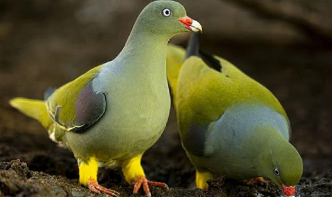 Αυτά τα περιστέρια δεν τα έχετε ξανά δει: Μοιάζουν με παγώνια, με παπαγάλους – Σπάνια και πολύχρωμα (φωτό) - Κυρίως Φωτογραφία - Gallery - Video