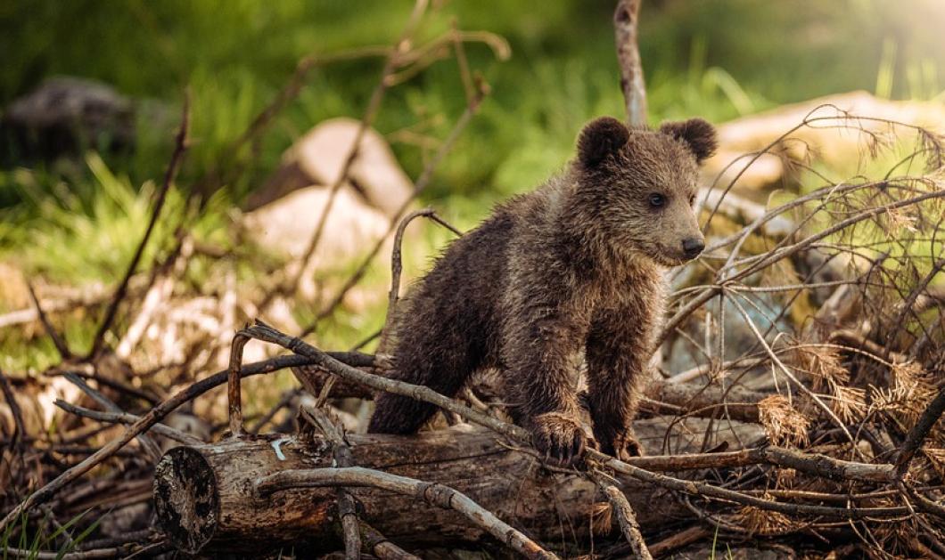Ωραία ειδησούλα: Η μαμά αρκούδα & τα 3 αρκουδάκια της, μπήκαν σε αγρόκτημα  στο Μέτσοβο, ήπιαν τσικουδιές & έφαγαν κεράσια - Κυρίως Φωτογραφία - Gallery - Video