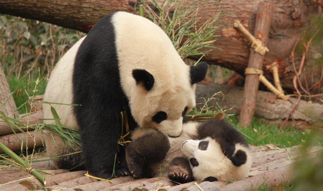 Βίντεο: Ένα Panda γεννήθηκε live  -  H μαμά του το αγκαλιάζει  & το διαδίκτυο παθαίνει λαλα - Κυρίως Φωτογραφία - Gallery - Video