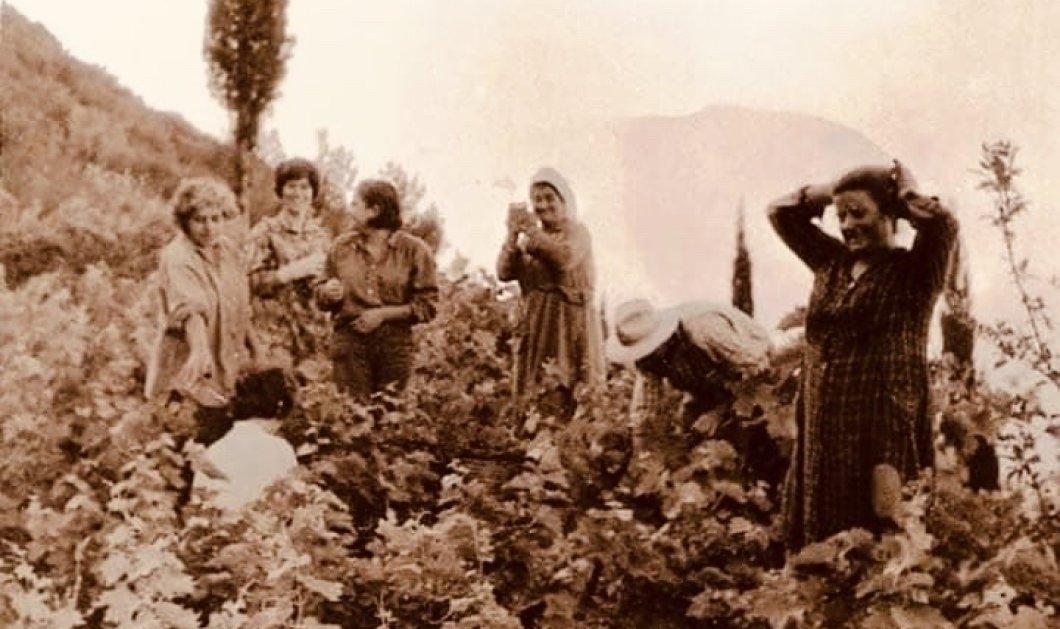 Χρυσαφένια ρόγα, πολυβραβευμένο Μοσχάτο Σάμου: H ιστορία του μοναδικού κρασιού που ξεκινάει από τις άτακτες Αμαζόνες & τον Διόνυσο έως σήμερα (φωτό) - Κυρίως Φωτογραφία - Gallery - Video