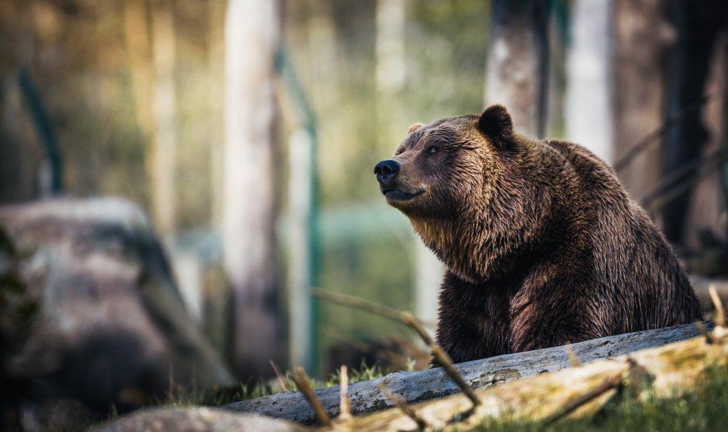 Δραματικές ώρες σε τσίρκο της Ρωσίας – Αρκούδα κατασπάραξε τον εργαζόμενο που μπήκε στο κλουβί της - Κυρίως Φωτογραφία - Gallery - Video
