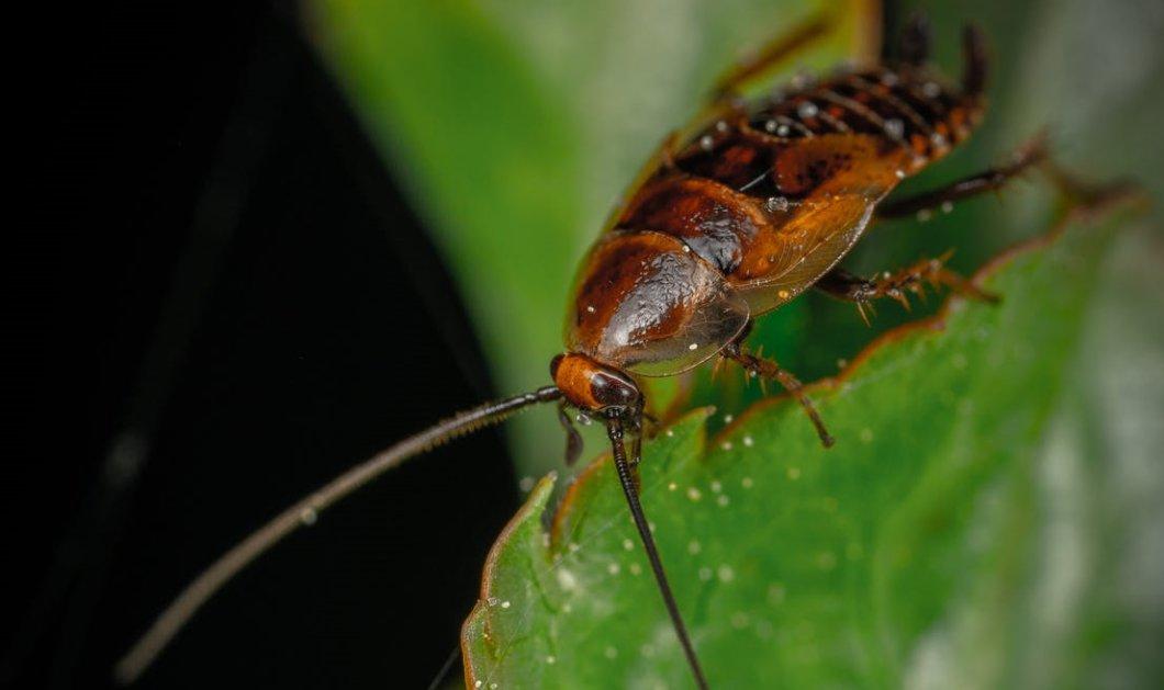 Μια τεράστια κατσαρίδα μπήκε στο αυτί ενός Φιλιππινέζου: Είχε αφόρητους πόνους μέχρι να το αφαιρέσουν με τσιμπιδάκι (Φωτό & Βίντεο)   - Κυρίως Φωτογραφία - Gallery - Video