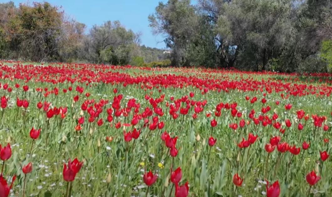 Λαλάδες Χίου: Τα παραμυθένια ''χαλιά'' που Απριλίου με τις κατακόκκινες τουλίπες (φωτό - βίντεο) - Κυρίως Φωτογραφία - Gallery - Video