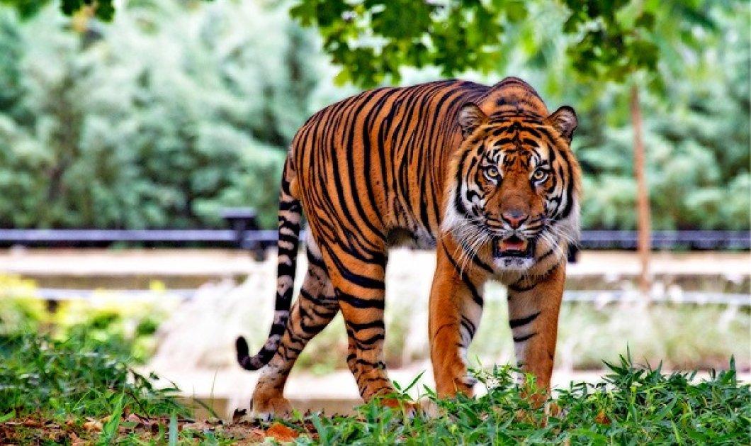 Θετικά στον κορωνοϊό 6 λιοντάρια & 3 τίγρεις του ζωολογικού κήπου της Ουάσιγκτον - ξεκινούν εμβολιασμούς στα ζώα (βίντεο) - Κυρίως Φωτογραφία - Gallery - Video
