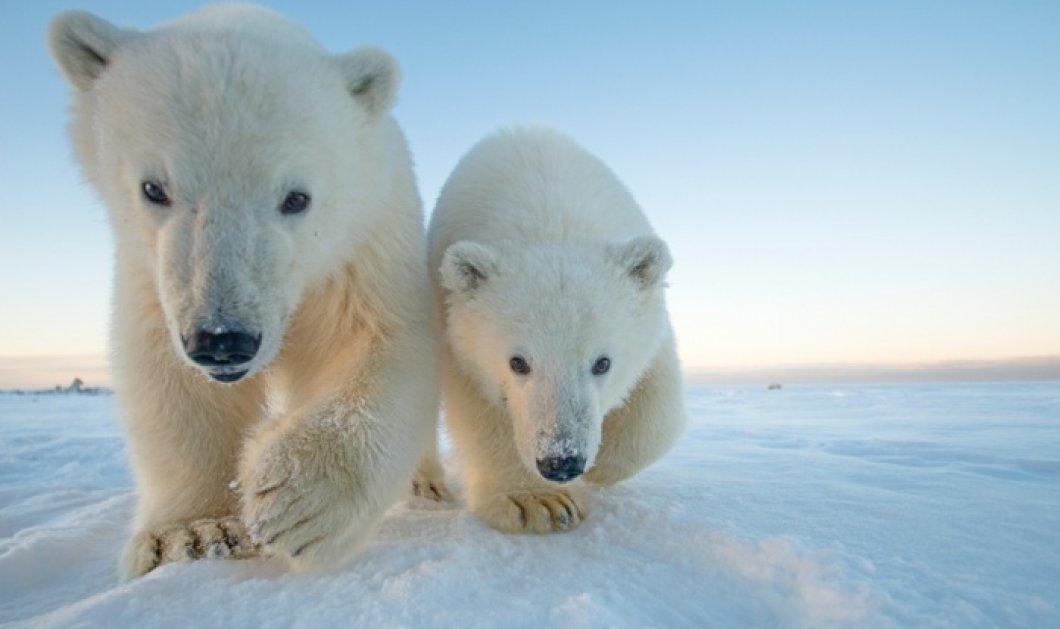 Θα τις λατρέψετε: Υπέροχα στιγμιότυπα από την ζωή μιας οικογένειας λευκών αρκούδων στην Αλάσκα! (slideshow) - Κυρίως Φωτογραφία - Gallery - Video
