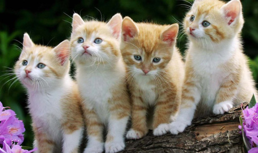 Good News: Άνοιξε το πρώτο καφενείο γατόφιλων - Έτσι γνωρίζεται η γάτα σας με την οικογένεια που θα την υιοθετήσει στο Όκλαντ! - Κυρίως Φωτογραφία - Gallery - Video