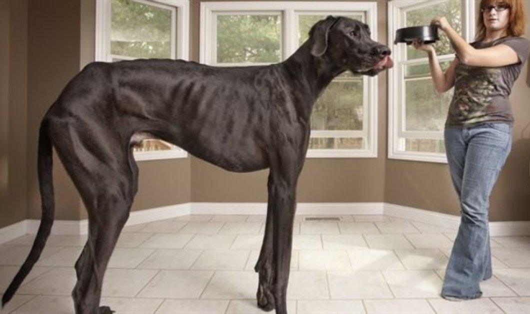 Έφυγε από τη ζωή ο Δίας, ο ψηλότερος σκύλος του κόσμου - Ξεπερνούσε το 1 μέτρο και 30 εκατοστά! (φωτό - βίντεο) - Κυρίως Φωτογραφία - Gallery - Video