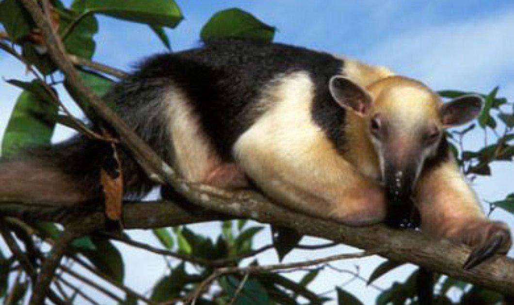 Κλωνοποίηση ζώων που απειλούνται με εξαφάνιση από Βραζιλιάνους επιστήμονες - Κυρίως Φωτογραφία - Gallery - Video