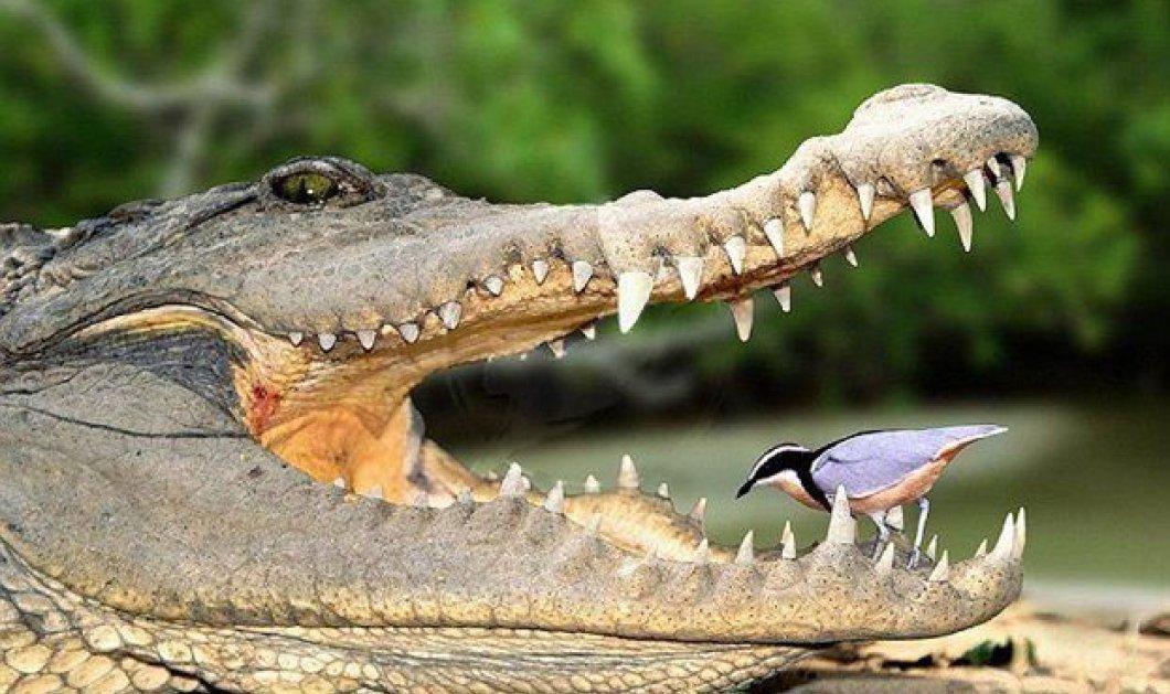 Οι αλιγάτορες με τα άφθαρτα δόντια τους το επιστημονικό μυστικό για να ...εξαφανίσουμε τους... οδοντιάτρους ! - Κυρίως Φωτογραφία - Gallery - Video