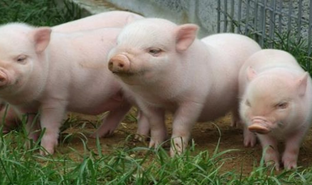 Smile: Γουρούνια ''χασικλήδες'' παίρνουν βάρος και δίνουν καλύτερες μπριζόλες! - Κυρίως Φωτογραφία - Gallery - Video