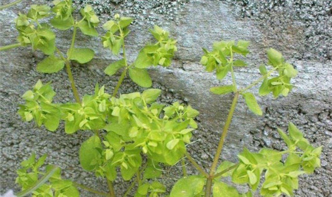 Το Euphorbia peplus (ευφόρβιον ο πέπλος) ή αλλιώς...γαλατσίδα, το νέο φάρμακο για τον καρκίνο του δέρματος; - Κυρίως Φωτογραφία - Gallery - Video