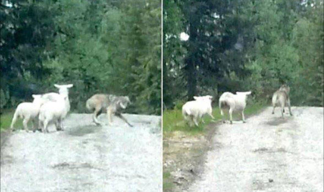 Το βίντεο που κάνει το γύρο του διαδικτύου με τον επιτιθέμενο λύκο να τρέπεται σε φυγή από τα... πρόβατα! Διδακτικότατο!  - Κυρίως Φωτογραφία - Gallery - Video